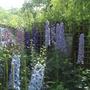 A jungle of Delphiniums