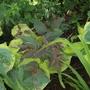 Hosta 'Frances Williams'  with Lysimachia ciliata 'Firecracker'