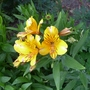 Alstroemeria_golden_delight_2018