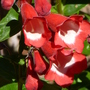 Penstemon_king_george