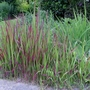 Imperata_cylindrica_red_baron_2018
