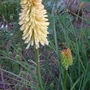 Kniphofia_toffee_nosed_2018