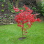 Blood red acer