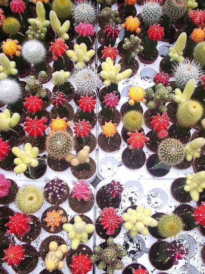 Flowering Cacti, Columbia Road Market