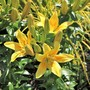 New yellow lilies 'Dreaming Joy' in the golden Border