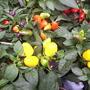 Ornamental Peppers, Columbia Road Market