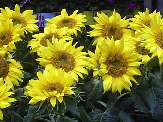Dwarf Sunflowers, Columbia Road Market