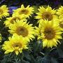 Sunflowerscolrd