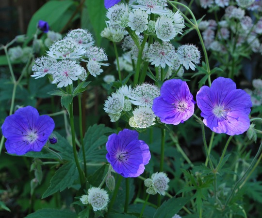 Orion and Astrantia.... (Geranium himalayense (Hardy geranium) Orion)