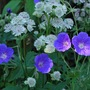 Orion and Astrantia.... (Geranium himalayense (Hardy geranium) Orion)