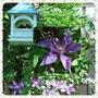 Bird_feeder_and_clematis