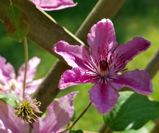 More Clematis.....