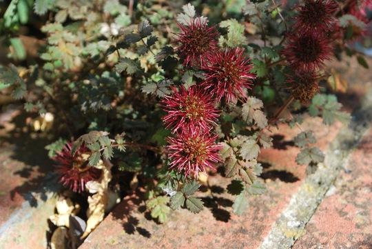Acanea microphylla Kupferteppich (NZ burr) (Acaena microphylla kupferteppich.)
