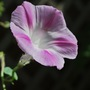 Ipomoea... (Ipomoea purpurea (Morning glory))