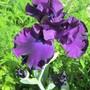IMG 7317-Iris Midnight Revelry
