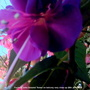 Fuchsia 'John Groome' flower on balcony, very close up 28th June 2018 001 (Fuchsia)