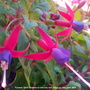 Fuchsia 'Genii' flowers on balcony, very close up 28th June 2018 (Fuchsia 'Genii')