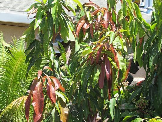 Mango red new leaves.. (Mangifera indica (Mango))