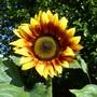 Sunflower  (Helianthus 'Autumn Time' )