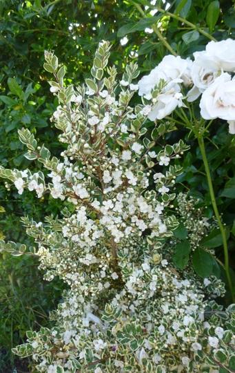 Myrtus 'Glanleam Gold' (Myrtus)