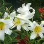 Regale lilies