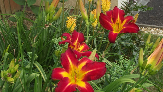"""Daylily """"Point of View"""""""