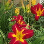 "Daylily ""Point of View"""