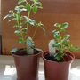 The 2 Salvia cuttings today from Salvia Nachtvlinder