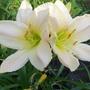 Day lily- cream twins!