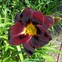Day lily-red