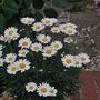 Argyranthemum.... (Argyranthemum)