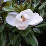 Magnolia grandiflora 'Exmouth' - 2018 (Magnolia grandiflora 'Exmouth')