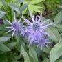 Eryngium x zabelii 'Big Blue' - 2018 (Eryngium x zabelii)