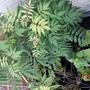 Sorbaria sorbifola 'Sem' (Sorbaria sorbifolia 'Sem')