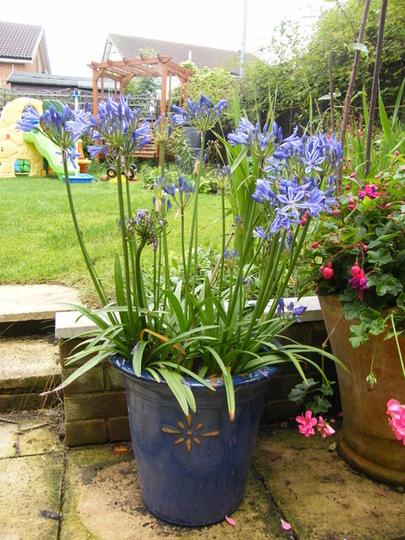 Agapanthus pot (Agapanthus africanus (African blue lily))