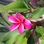 another bloom on my Plumeria
