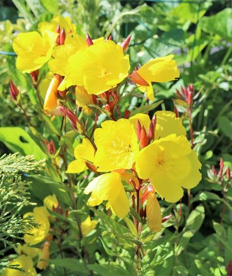 Oenothera fruticosa (Narrow-leaved Sundrops)