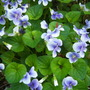 Blue and White Violets