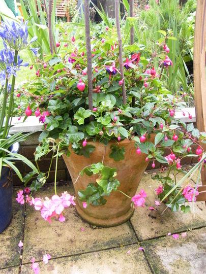 trailing geranium and fushias