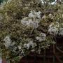 Luma appiculata 'Glanleam Gold' - 2018 (Luma apiculata)