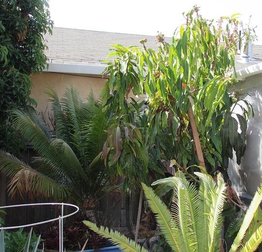 Mended Mango. (Mangifera indica (Mango))