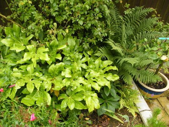 fatsia japonica plant (Fatsia japonica (Japanese aralia))