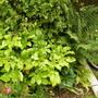 Fatsia japonica (Japanese aralia)