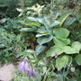 A selection of Hostas (Hosta)