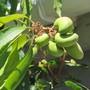 Starting to look like something... (Mangifera indica (Mango))