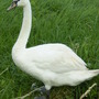 Swan on the Rhyne