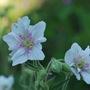 Hardy Geranium pratense Double Jewel (Geranium pratense Double Jewel..)