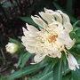 Stokesia laevis 'Mary Gregory' (Stokesia laevis)