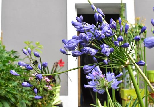 Agapanthus praecox 'Flore Plena' (Agapanthus praecox 'Flore Plano')