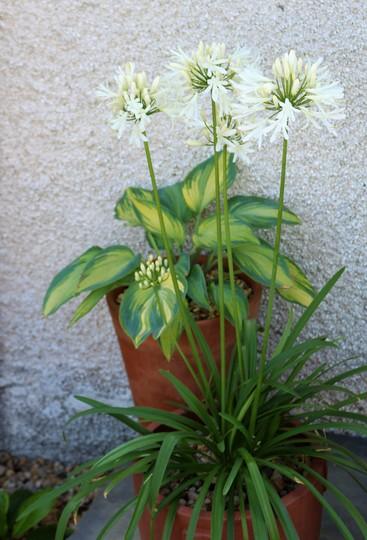 White Agapanthus and Hosta 'June'